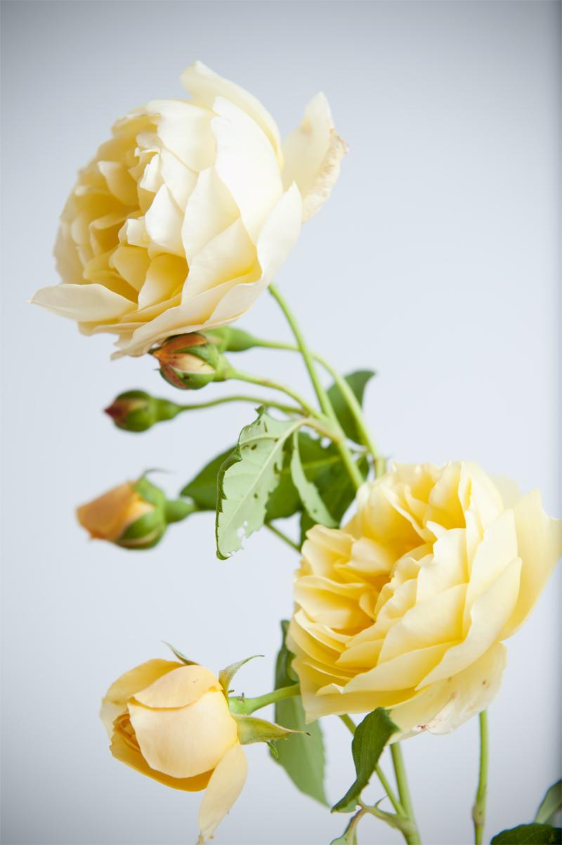Nur weil sie gerade noch so schön blühen: Rosen aus dem Garten
